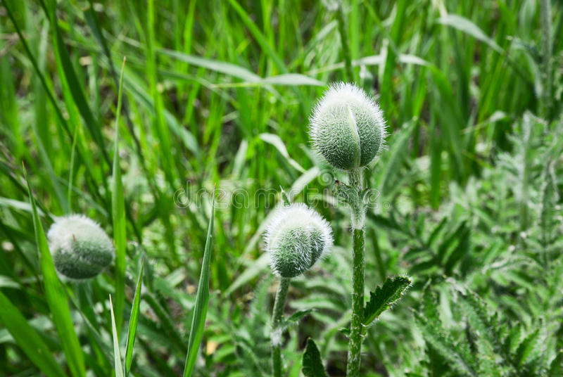 Fuzzy Plant Bulb. This is a picture of a strange fuzzy plant bulb in the grass stock images