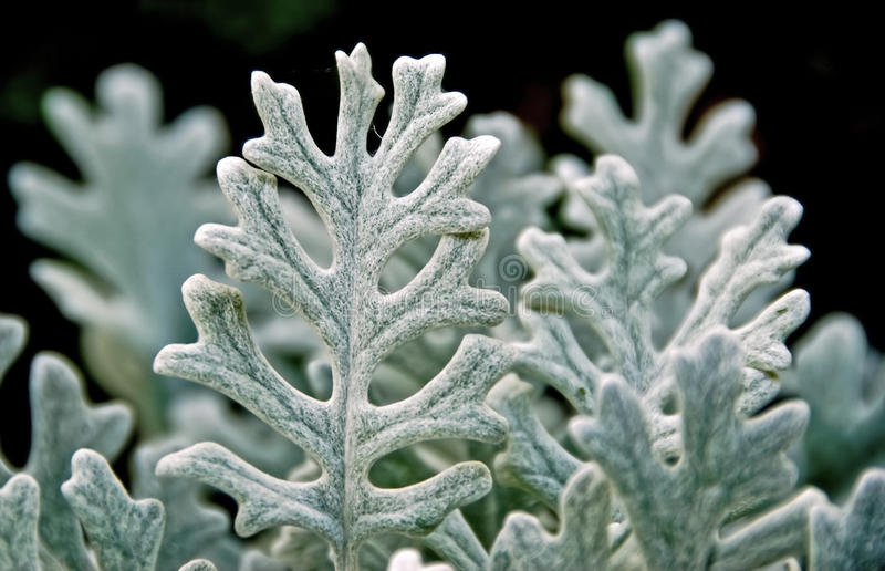 Download Fuzzy silver leaves stock image. Image of serrated, decorative - 14270947