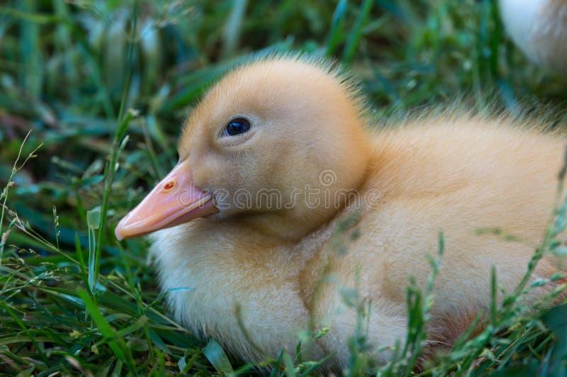 Fuzzy Yellow Baby Duck Curled para arriba en una cama de la hierba verde en primavera fotos de archivo libres de regalías