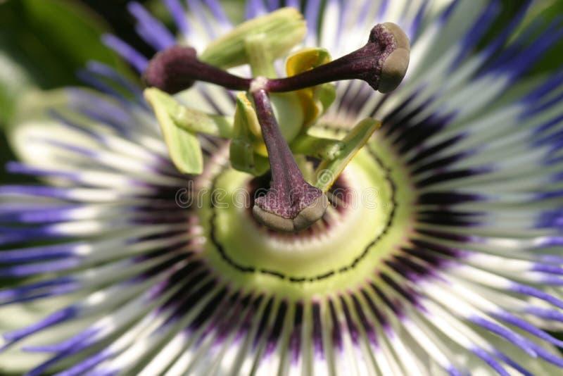 FV bloem 2 van de hartstocht royalty-vrije stock foto