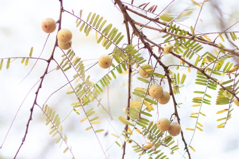 Fyllanthus emblica op boomtak Het is een rijke bron van vitamine C royalty-vrije stock afbeeldingen
