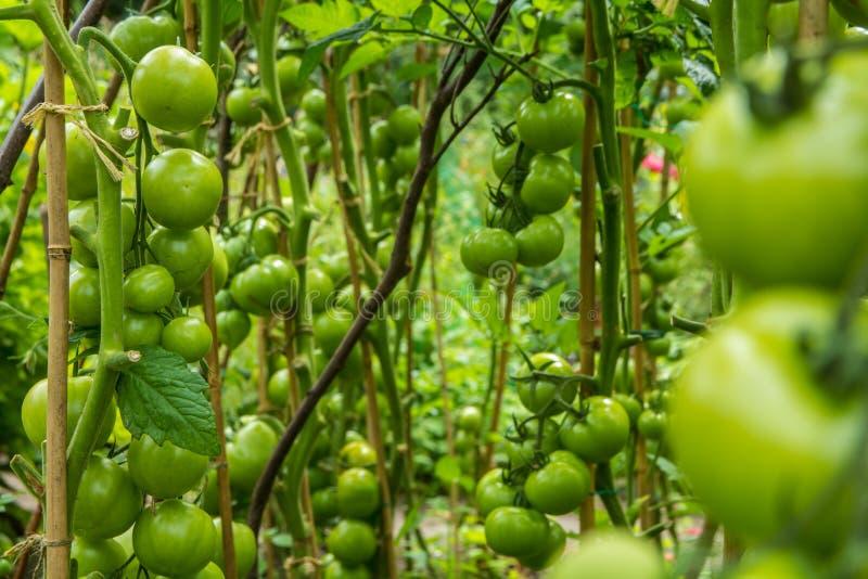 Fylliga gröna tomater som växer på frodiga vinrankor arkivbilder