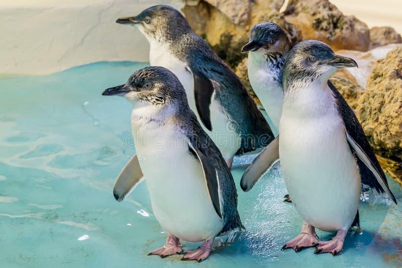 Fyra australiska pingvin på pingvinön, Rockingham, västra Australien royaltyfri fotografi