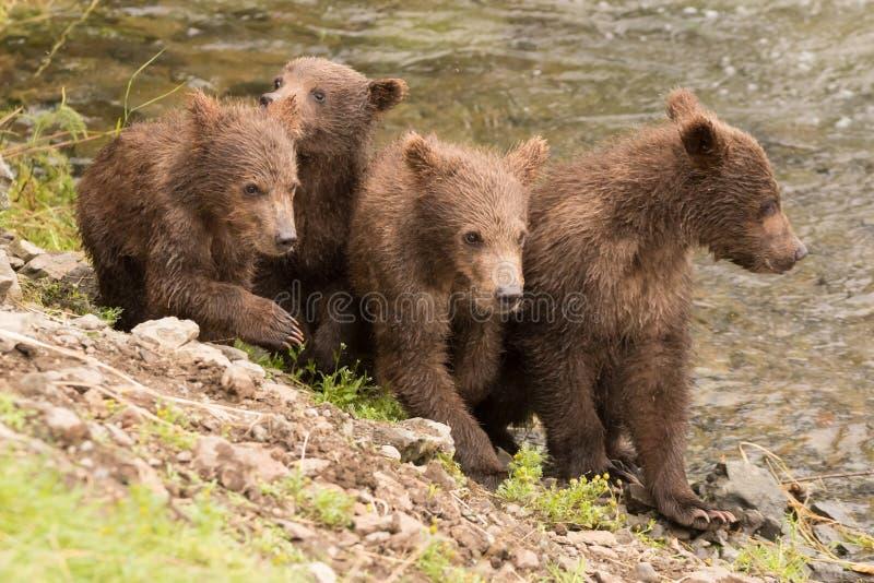 Fyra brunbjörngröngölingar bredvid bäckfloden royaltyfri foto