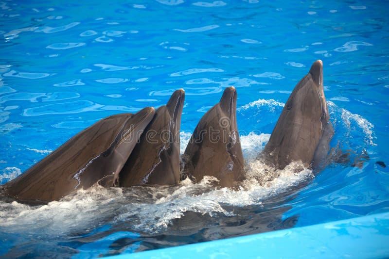 Fyra delfin stänger sig upp Phuket arkivfoton