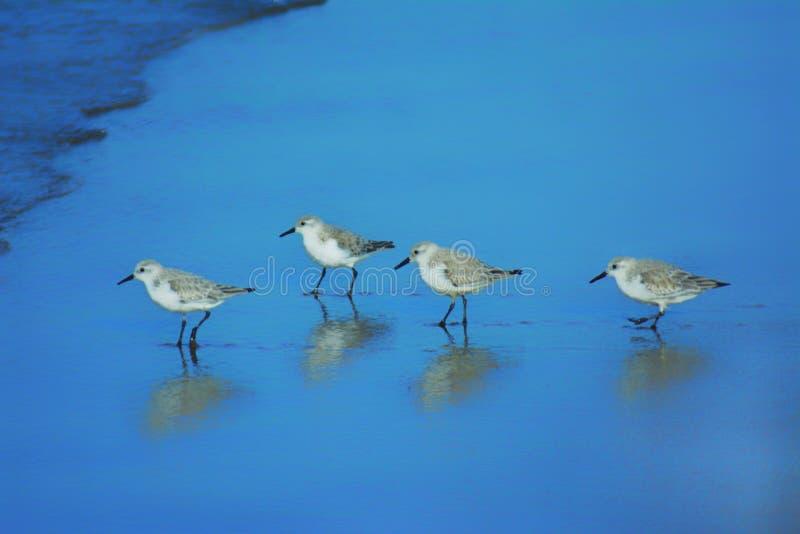 Fyra fåglar går på stranden arkivbild