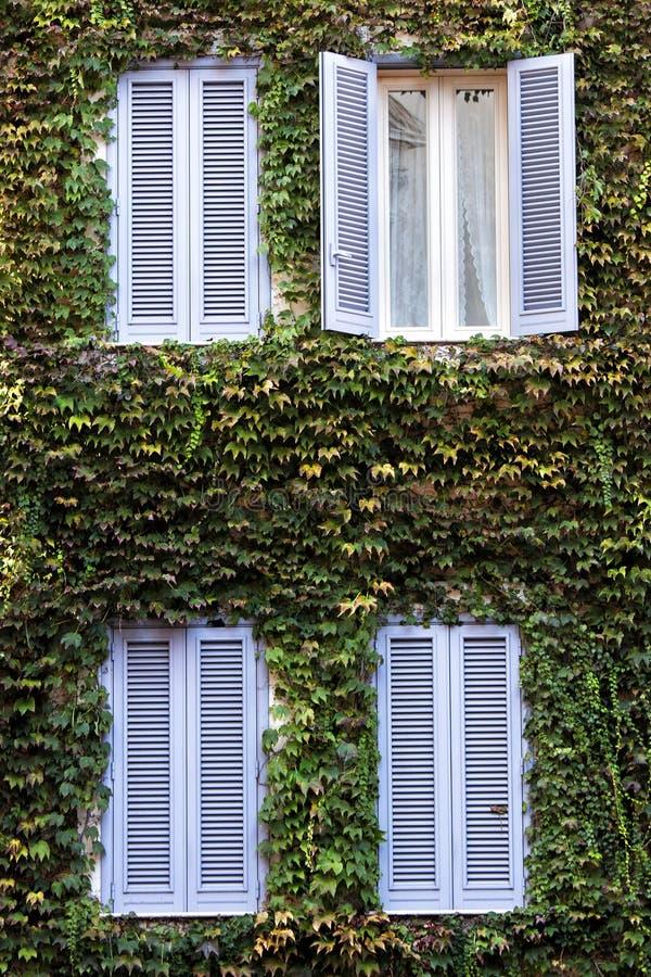 fyra fönster Byggnadsfasad som täckas helt med murgrönan arkivbild