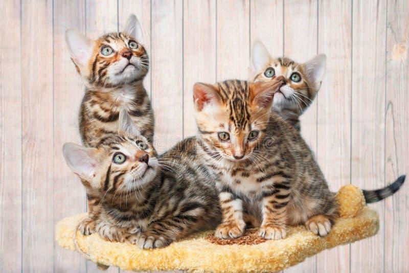 Fyra förtjusande bruna prickiga bengal kattungar royaltyfri bild
