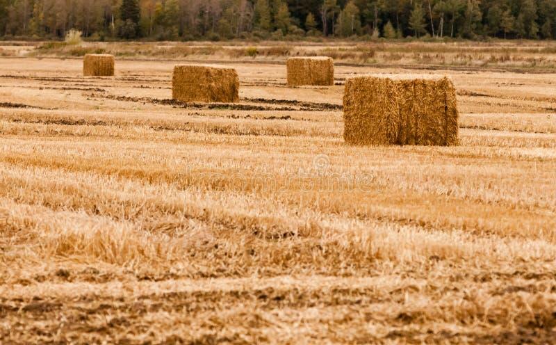 Fyra fyrkantiga höbaler på tomt gult fält arkivfoto