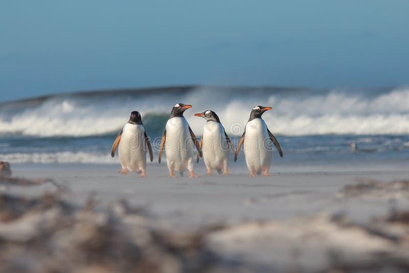 Fyra Gentoo pingvin som går från havet arkivbilder
