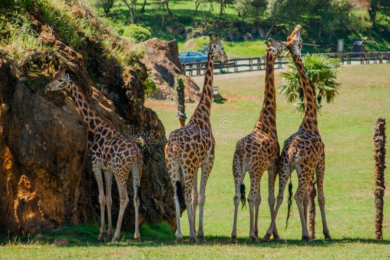 Fyra giraff om den varma dagen fotografering för bildbyråer