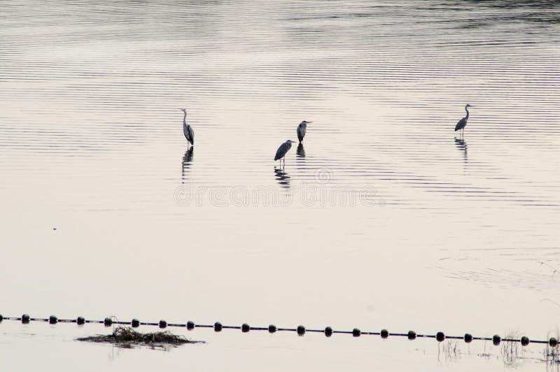 2019103011: Fyra heroner i Shahe-reservoaren, Peking, Kina arkivbild
