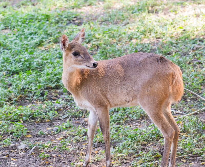Fyra-horned antilop royaltyfri fotografi