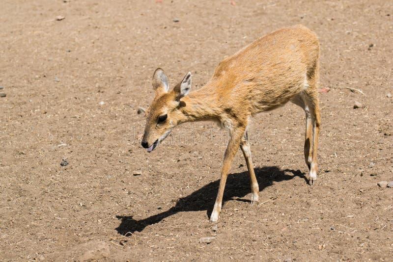 Fyra-horned antilop arkivfoto