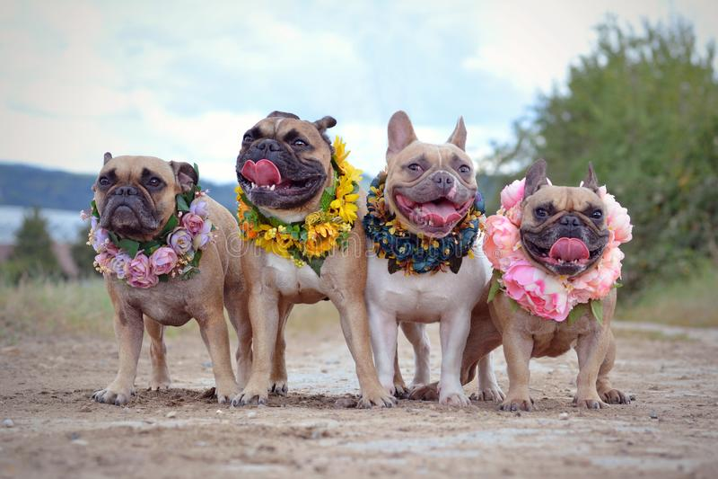 Fyra hundkapplöpning för fransk bulldogg med blommakransar runt om deras hals arkivfoto
