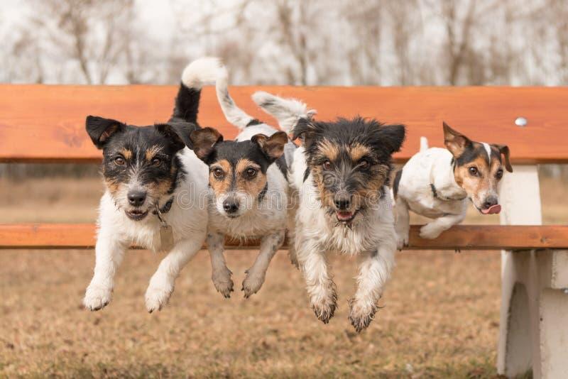 Fyra hundkappl?pning som hoppar fr?n, parkerar b?nken - den st?larrussell terriern royaltyfria bilder