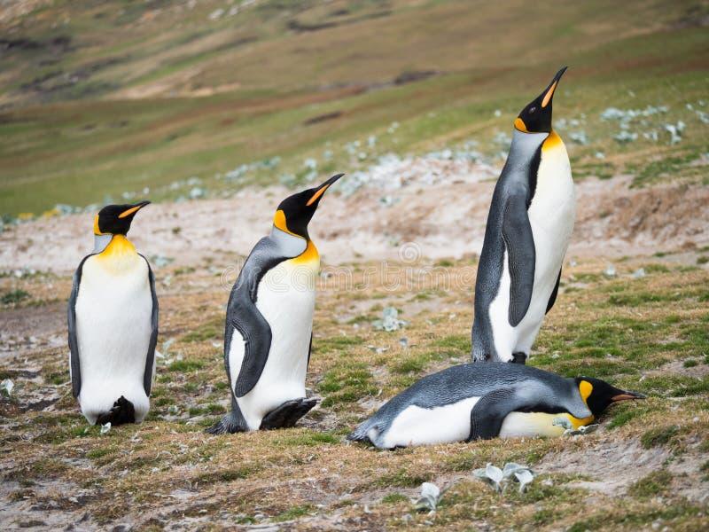 Fyra konung Penguins med en på dess buk royaltyfri bild