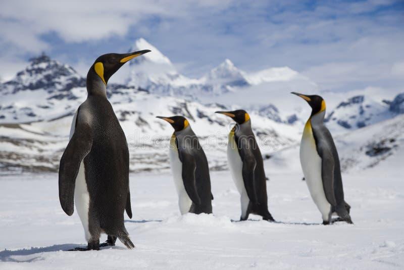 Fyra konungpingvin som går i ny snö arkivbilder