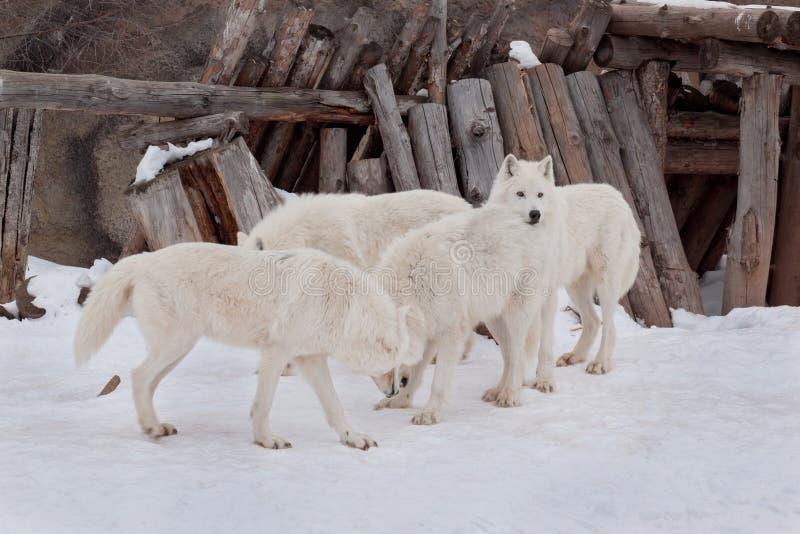 Fyra lösa alaskabo tundravarger spelar på vit snö Arctos för Canislupus Polar varg eller vit varg arkivbild