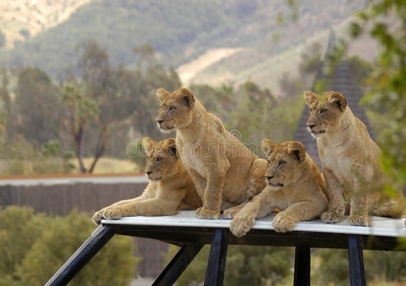 Fyra lejongröngölingar som väntar på matställen som deras föräldrar, jagar arkivbild