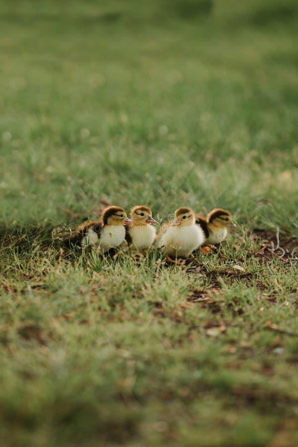 Fyra lilla änder på gräset Unga ?nder behandla som ett barn gruppen f?r djur f?r gr?sandf?gelungefamilj fyra den nyf?dda utomhus arkivfoton