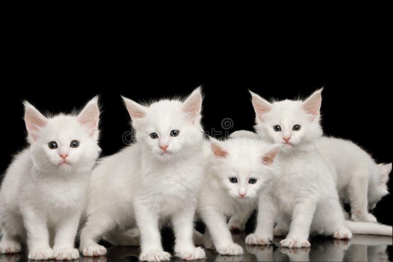 Fyra lilla vita Maine Coon Kittens Isolated på svart bakgrund royaltyfria bilder