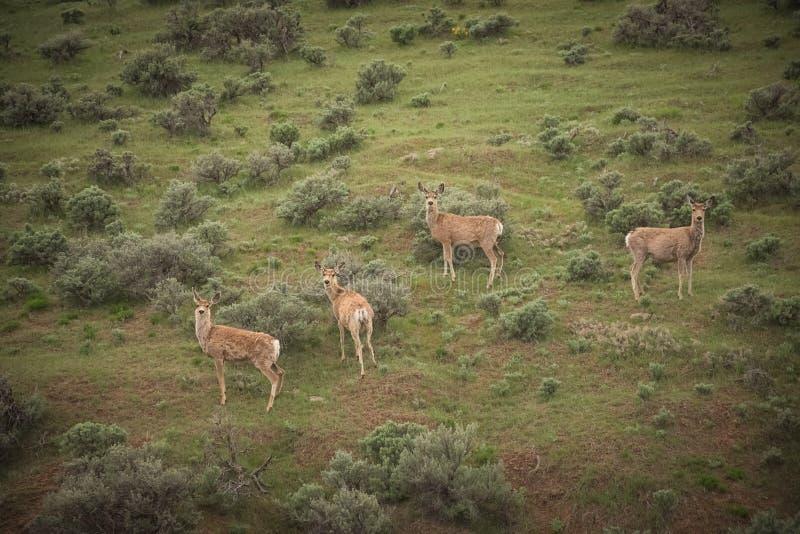Fyra mulahjort gör i vår arkivfoto