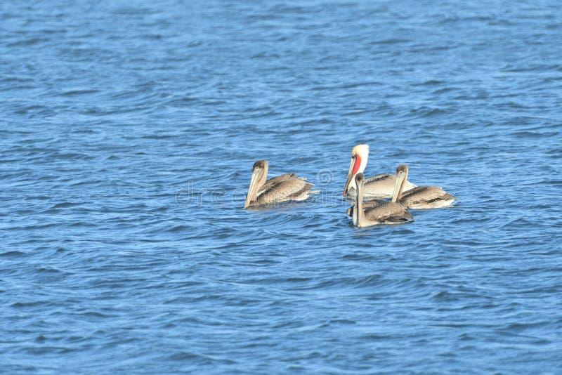 Fyra pelikan i mitt av sjön royaltyfri fotografi