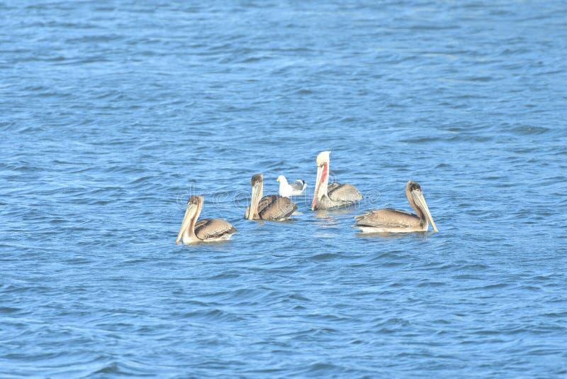 Fyra pelikan och en gemensam fiskmås fotografering för bildbyråer