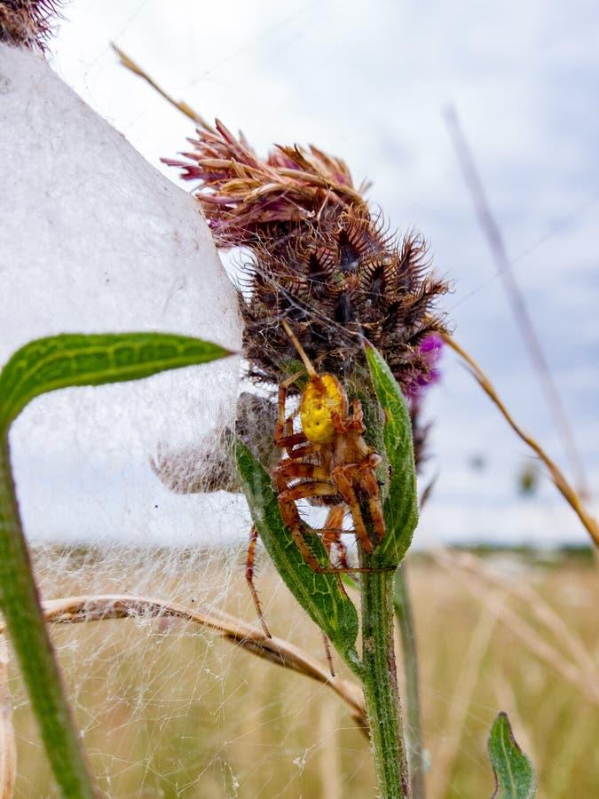 Fyra prickig Orb Weaver Spider och hennes vän i runda cornen royaltyfria foton