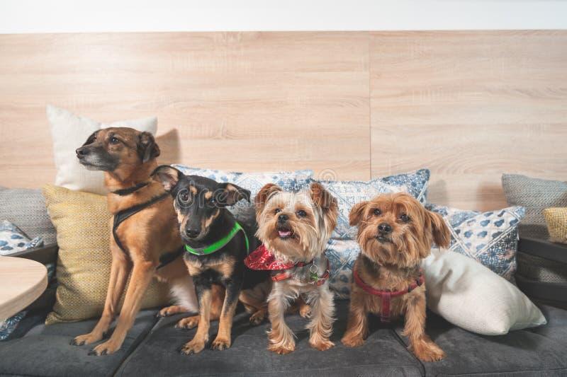 Fyra roliga gulliga hundkapplöpningföre detta övergav hemlöns som adopterades av brafolk, och ha gyckel på kuddarna i det älsklin arkivbilder