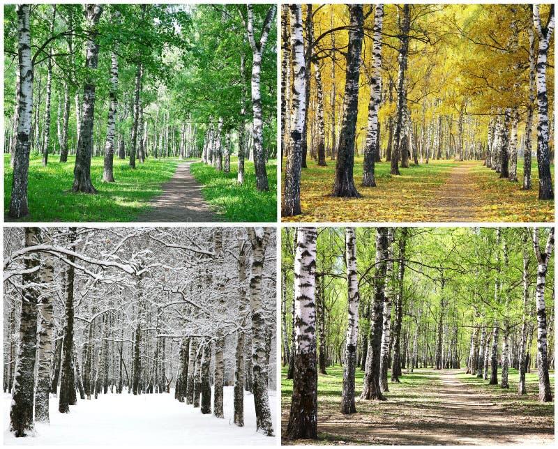 Fyra säsonger av radbjörkträd royaltyfri bild