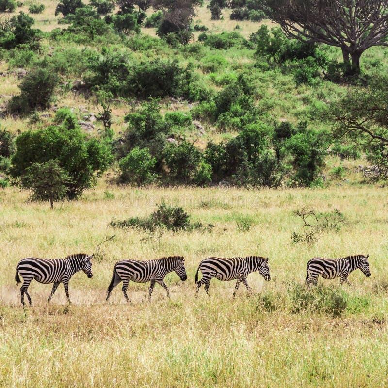 Fyra sebror som går i Tanzania arkivbilder