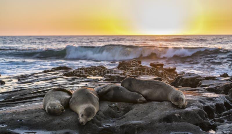 Fyra sjölejon som ut passeras på, vaggar, San Diego Beach, CA fotografering för bildbyråer