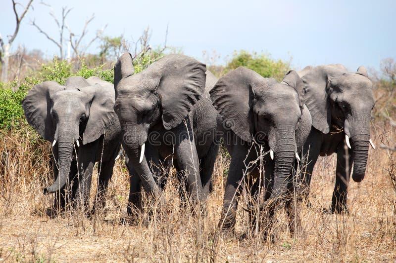 Fyra stora elefanter stänger sig upp i den Chobe nationalparken, på safari i Botswana, sydliga Afrika royaltyfri fotografi