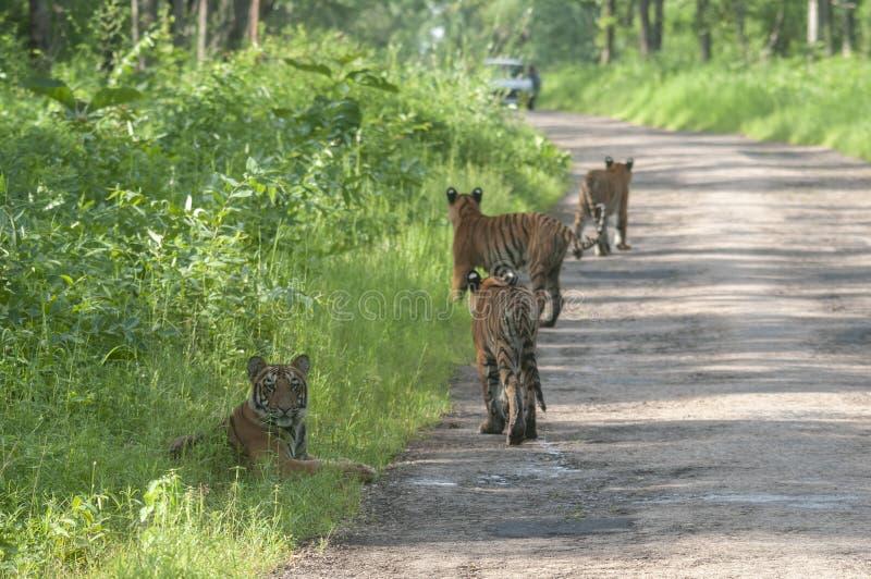 Fyra tigrar p? maharashtraen f?r Tadoba tigerreserv, Indien royaltyfri bild