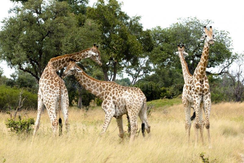 fyra unga giraff fotografering för bildbyråer