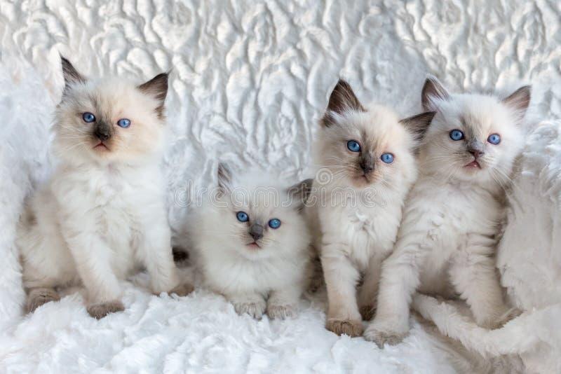 Fyra unga Ragdoll katter som i rad sitter arkivfoto