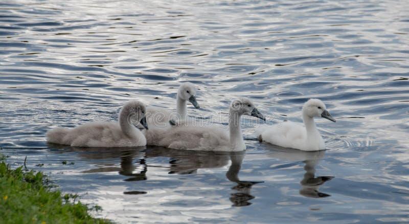 Fyra unga unga svanar av simning för stum svan i en sjö royaltyfria foton