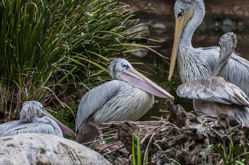 Fyra vita pelikan som är slö vid ett damm royaltyfri bild