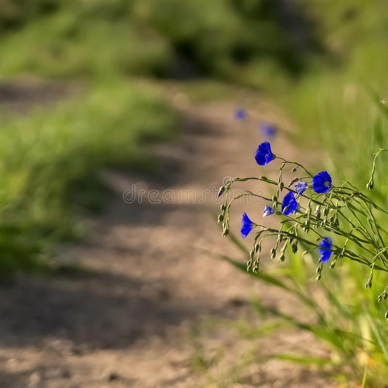 Fyrkanten stänger sig upp av ljusa blåa blommor och livliga gröna gräs längs en smal grusväg arkivfoton