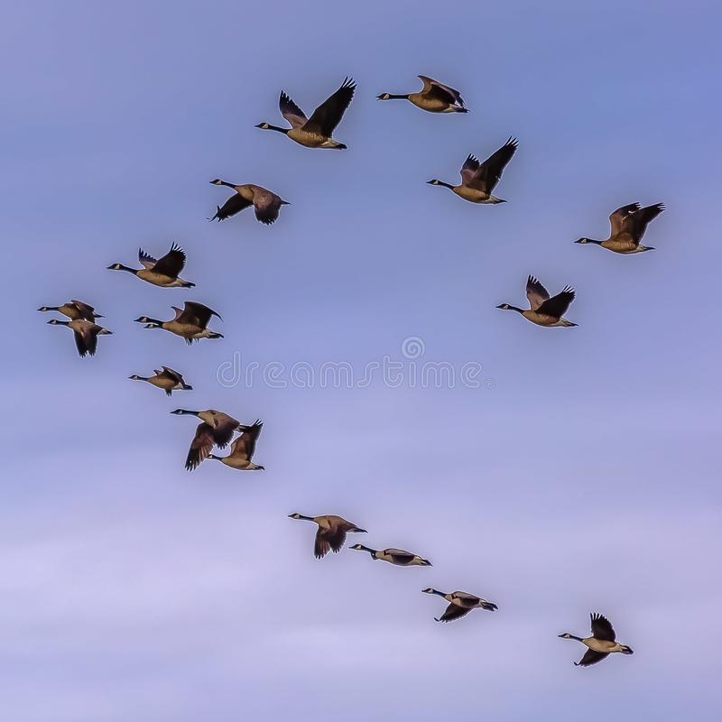 Fyrkantig flock av fåglar som flyger mot blådisig himmel med moln arkivfoton