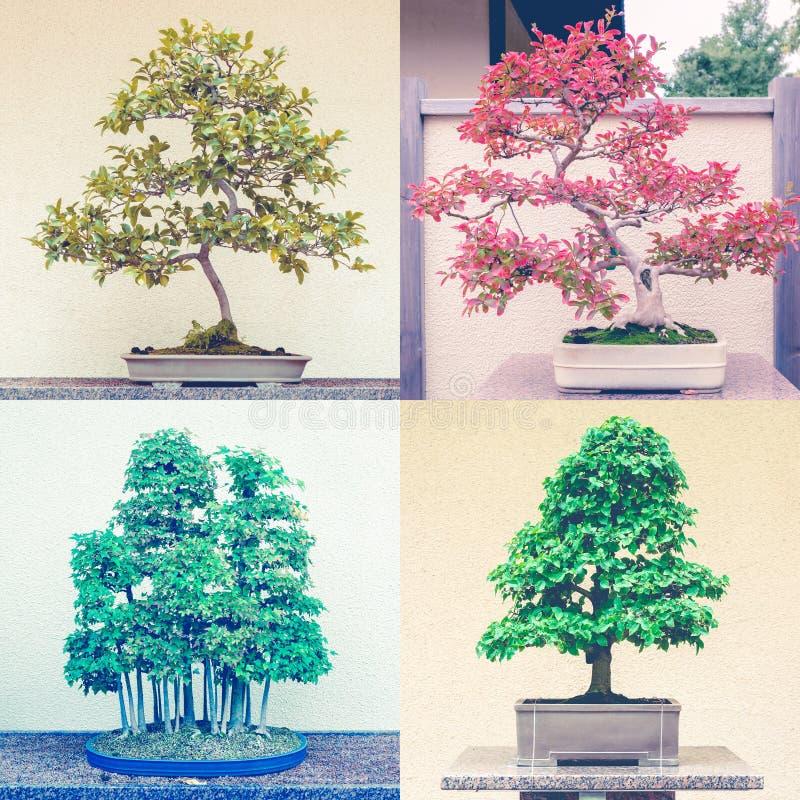 Fyrkantig montage av fyra bonsaiträd royaltyfria bilder