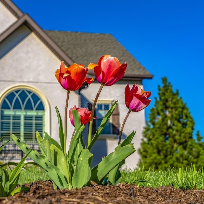 Fyrkantiga tulpan för ramram som blommar på trädgården av ett hem under klar blå himmel på en solig dag arkivbild