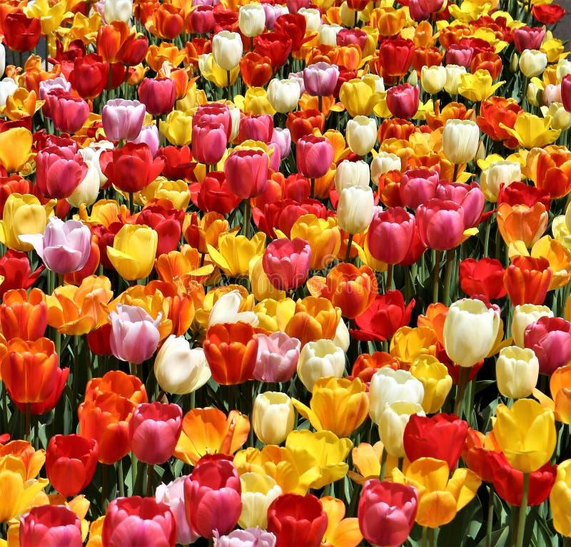 Fyrkantigt foto av röda, orange, rosa, gula och stundtulpan arkivbild