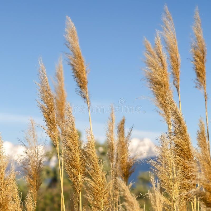 Fyrkantigt ramslut upp av gräs med sikt av berget och blå himmel i den suddiga bakgrunden royaltyfri bild