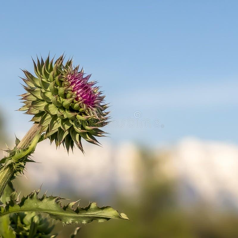 Fyrkantigt ramslut upp sikt av blomma växter med skarpa taggar på sidorna och stammarna arkivfoton