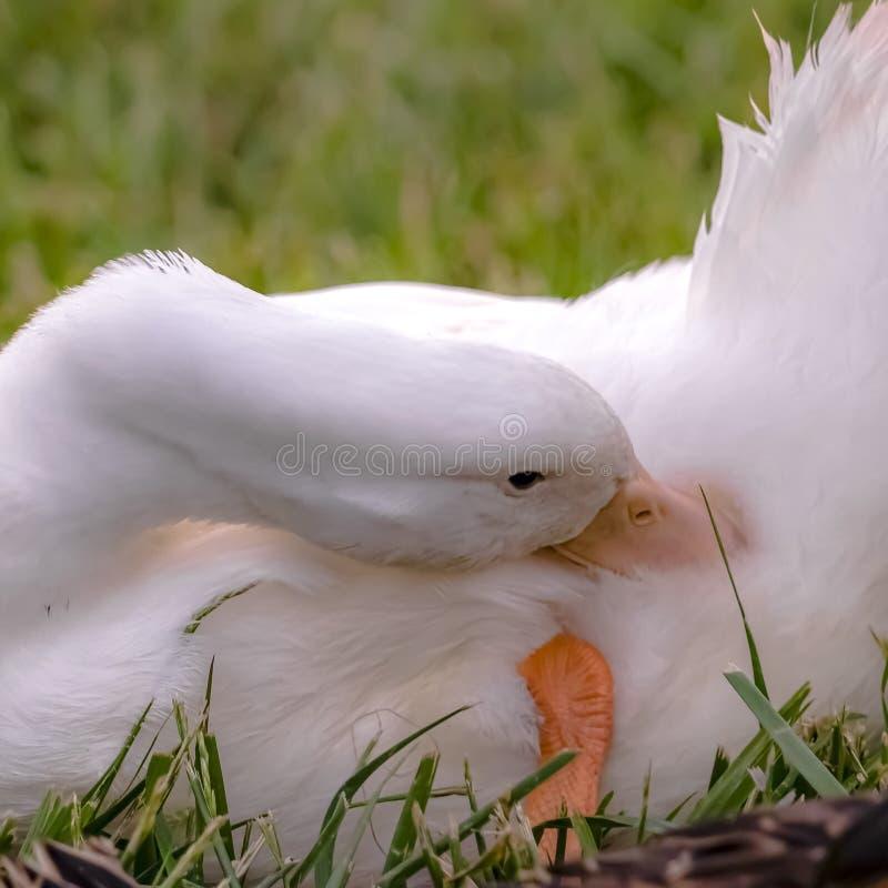 Fyrkantigt ramslut upp sikt av en and med den gula näbb som putsar dess vita fjädrar royaltyfri bild