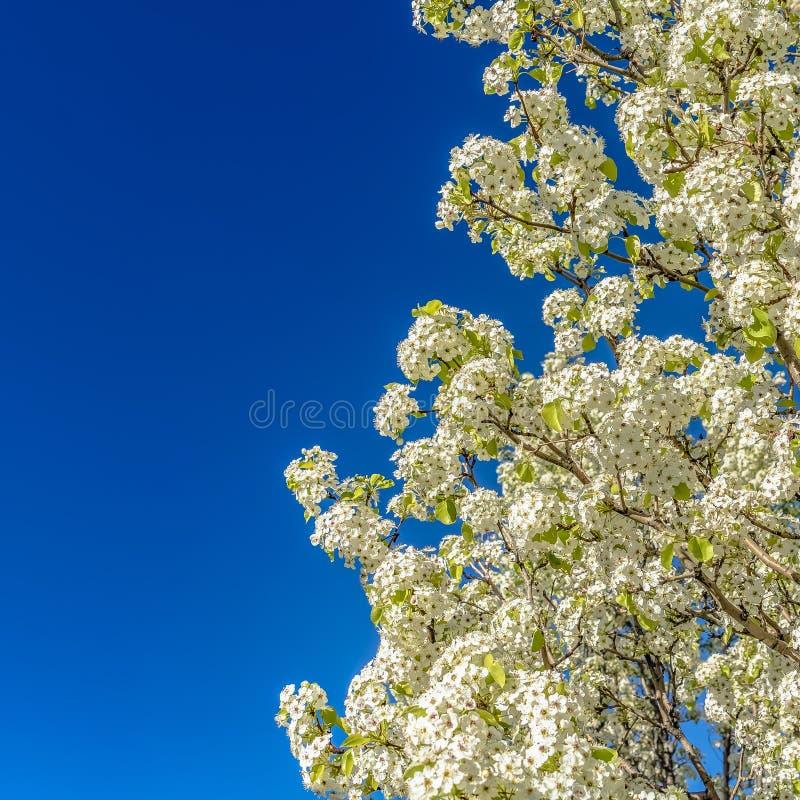 Fyrkantigt slut för ram upp av ett vitt blomma träd som isoleras mot en klar bakgrund för blå himmel royaltyfri foto