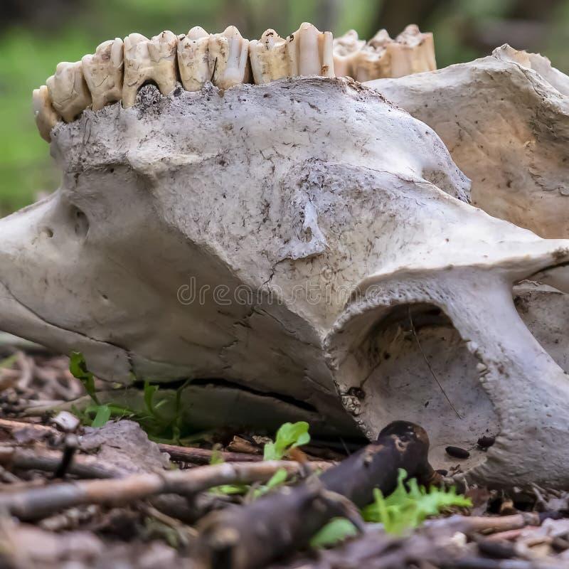 Fyrkantigt slut upp av en djur skalle i skogen mot suddiga trädstammar och himmel royaltyfri bild